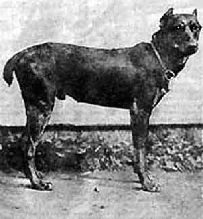 Зоо-ретро, Фотографии - какими они были...породы собак Post-169160-1331131835