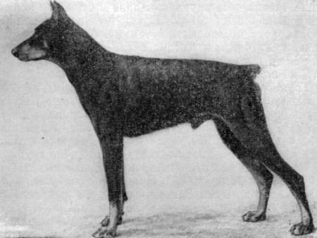 Зоо-ретро, Фотографии - какими они были...породы собак Post-169160-1331131847