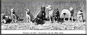Зоо-ретро, Фотографии - какими они были...породы собак Post-169160-1331132035