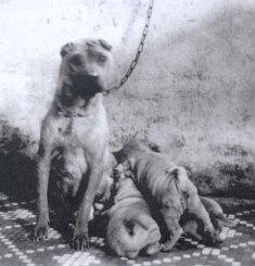 Зоо-ретро, Фотографии - какими они были...породы собак Post-169160-1331134569