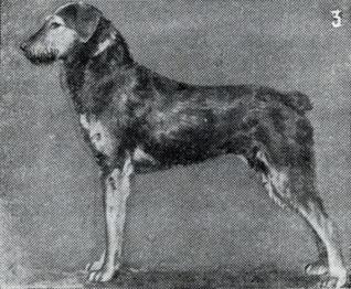 Зоо-ретро, Фотографии - какими они были...породы собак Post-169160-1331264965