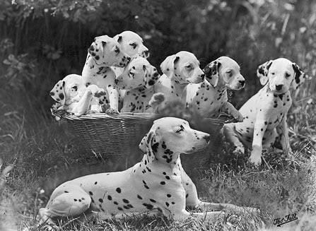 Зоо-ретро, Фотографии - какими они были...породы собак Post-169160-1331268038