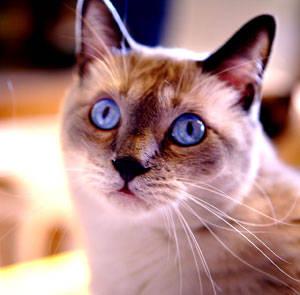 Razze Feline: una più bella dell'altra 3aa28c0fe4_4153920_med
