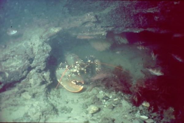 Découverte d'un village mésolithique au large de l'Ile de Wight Lobster-with-flints-excavated-in-its-burrow-as-it-makes-a-home-below-a-fallen-oak-tree-in-the-Bouldnor-Cliff-landscape-that-is-now-11m-underwater-600x401
