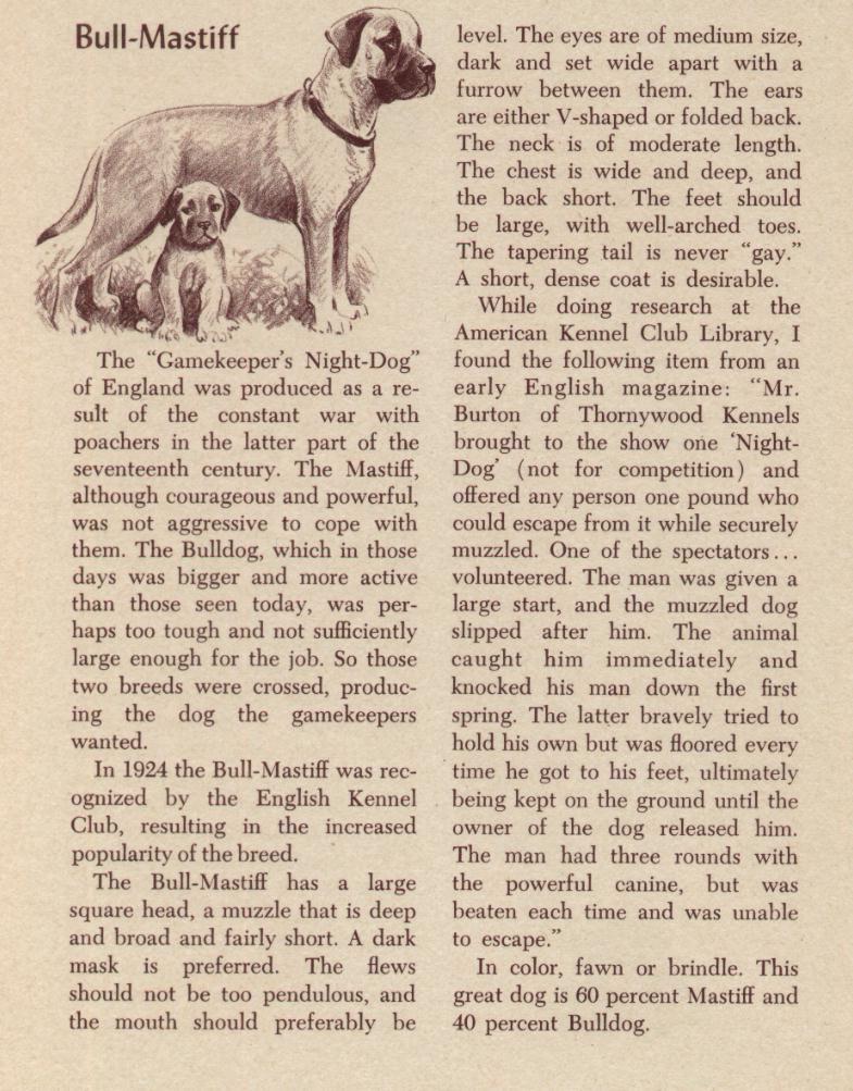 Как выглядели первые бульмастифы 36bullmastiff
