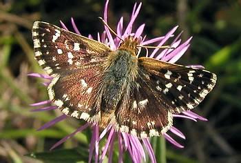 le papillon de Martin du 10 février trouvé par Gin-to Hesperie_des_sanguisorbes_016