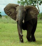 l'animal d'Ajonc à découvrir trouvé par Jambi 164px-African_Bush_Elephant_Mikumi_cropped
