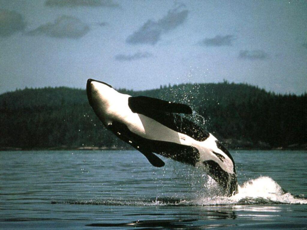Les orques(ou épaulard) 8p575936