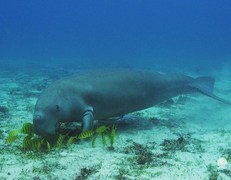 Photos sous marine  Dugong-14-960x750