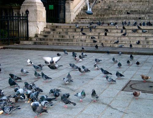Petit Gibier - Les différentes espèces de colombidés en Europe Pigeon_biset_dom