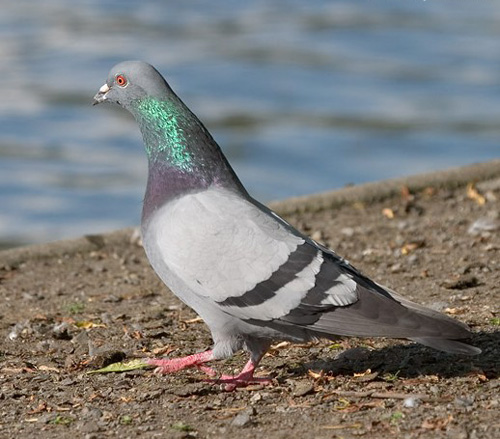 Petit Gibier - Les différentes espèces de colombidés en Europe Pigeon_biset_sauv
