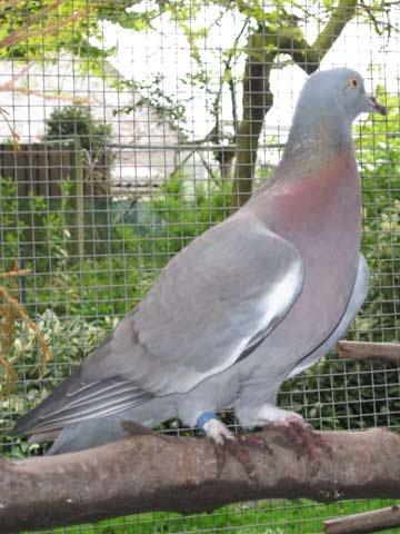 Petit Gibier - Les différentes espèces de colombidés en Europe Pigeon_mulet