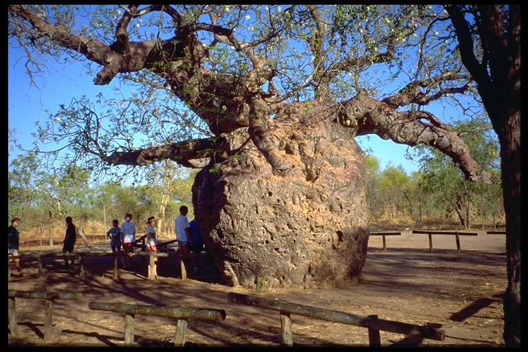 Je propose des petits baobabs Wt12