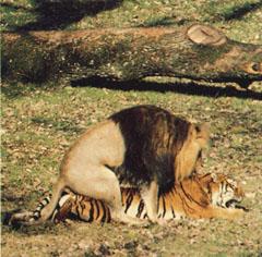 Trombinoscope - montrez vos tronches - Page 3 Accouplement_lion_tigre