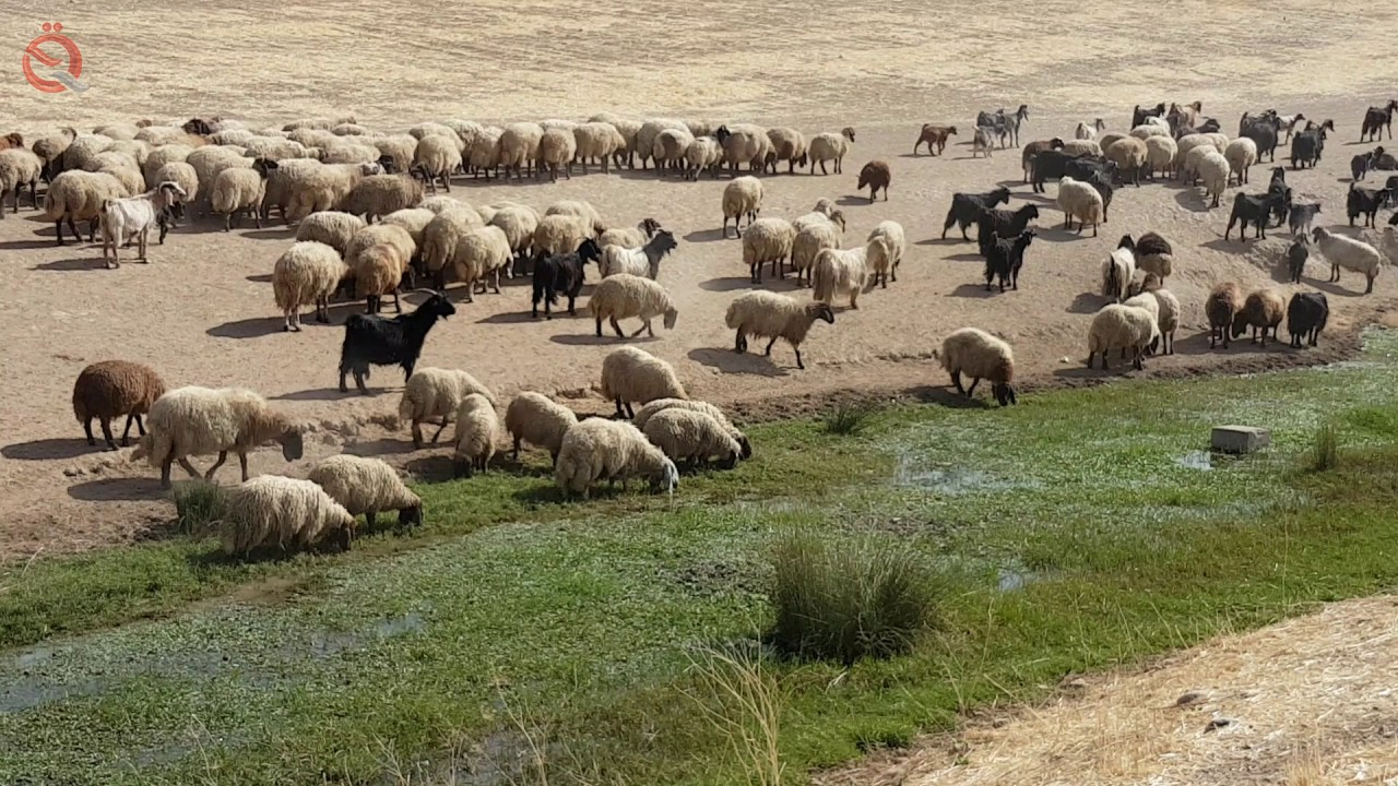 The smuggling of sheep to Kurdistan raises the price of meat in Syria 13882