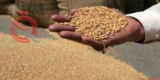 Trade: Receiving the grain allocated for the production of the tenth share of ration card flour 18000