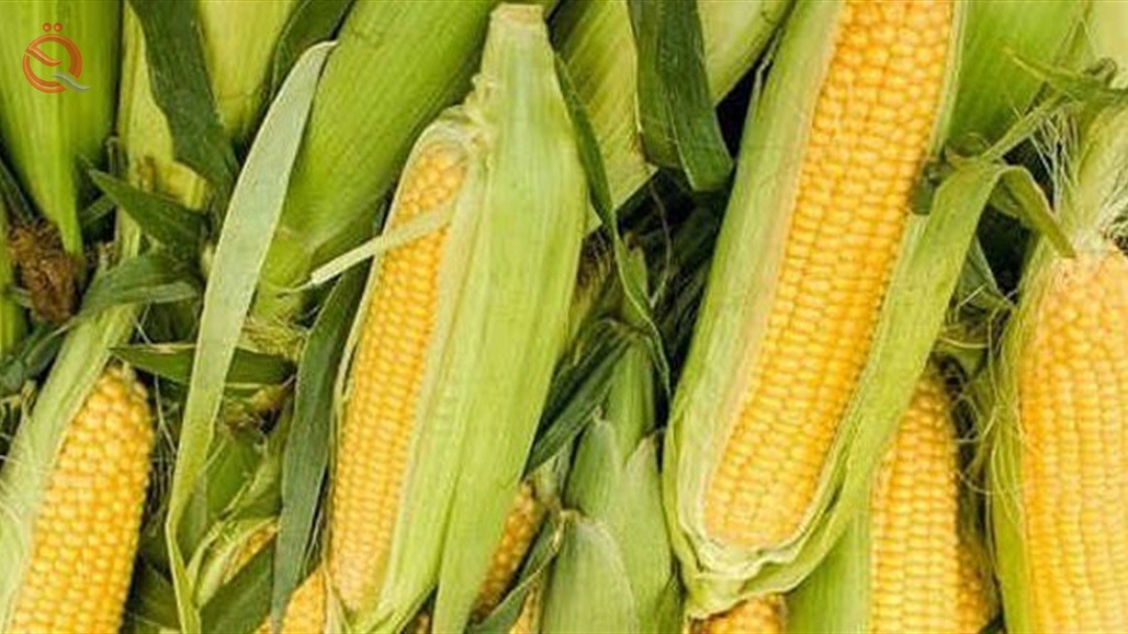 Agriculture: Direct payment of the third installment of farmers 'and marketers' interest for yellow corn 21384