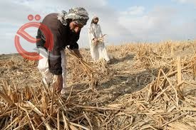Agriculture announces the export of one million tons of barley during the coming period 21688