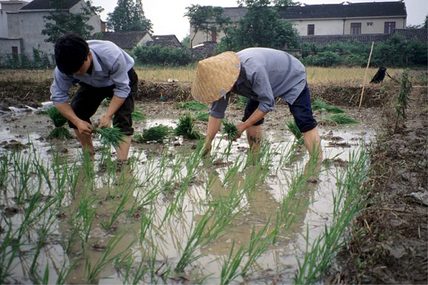 Narodna Republika Kina - Page 3 Xiejia_china_rice_transplanting_1994