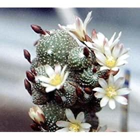 Blossfeldia Lilliputana seeds 41JA3su6Q2L._AA280_