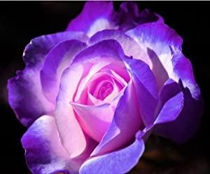 الورد الجورى  512T8IhQkEL._SX300_