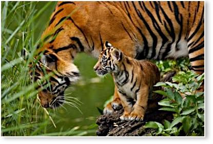 Une compagnie minière canadienne sur le point d'acheter une forêt protégée de Sumatra?! TigreSumatra