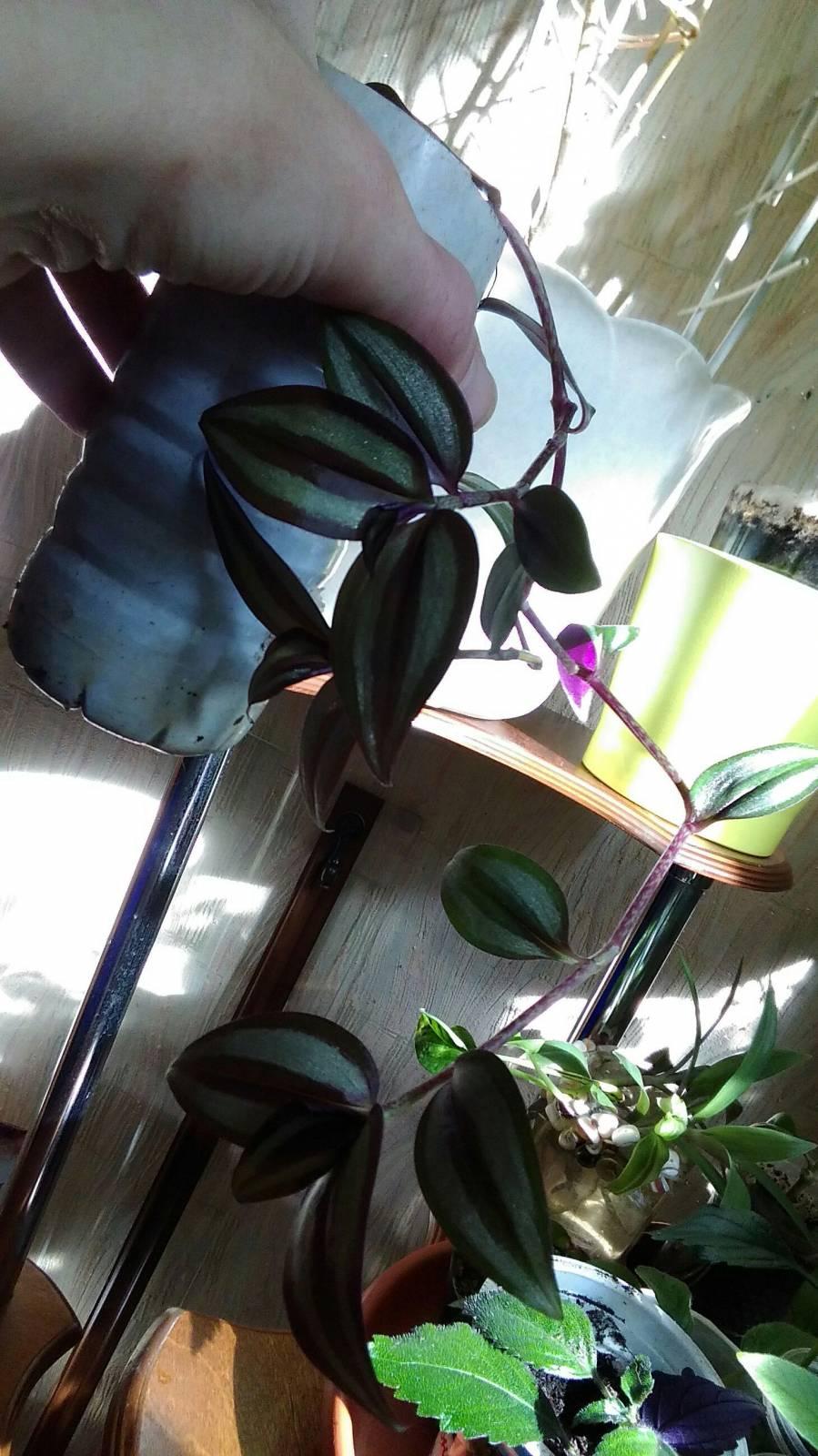 Меняю Комнатные цветы; Садовое: луковицы; семена Москва +МО 254408566