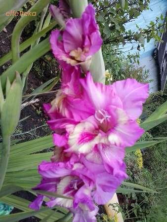 Меняю Комнатные цветы; Садовое: луковицы; семена Москва +МО Gladiolussirenevobel_li