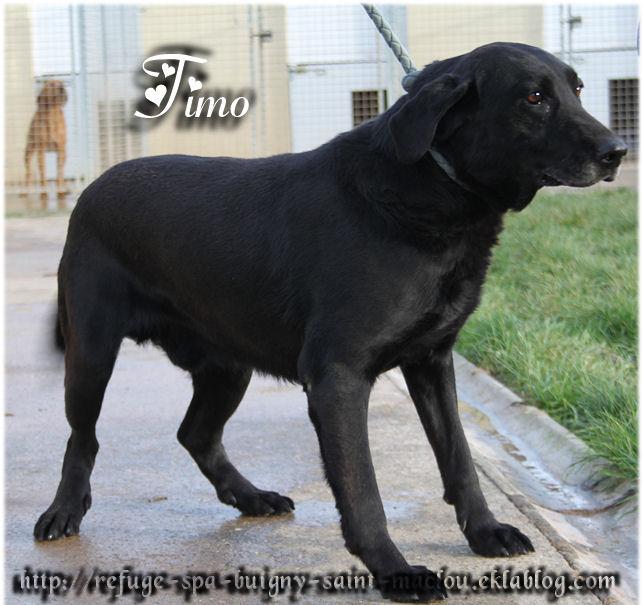 TIMO Labrador 8 ans 1/2  -  Refuge de PONTHIEU MARQUENTERRE (80) DLsCciBwpFNwNh6lSPBpKwcGzzA
