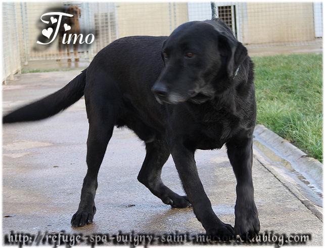 TIMO Labrador 8 ans 1/2  -  Refuge de PONTHIEU MARQUENTERRE (80) DDJGDrrF7VMx0CTz_naUehC0ubo