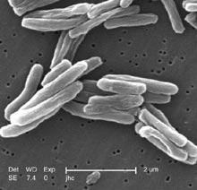 Tuberkuloza Mycobacterium_tuberculosis