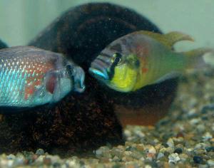 Рыбы обладают способностью к дедукции Astatotilapia_burtoni_300