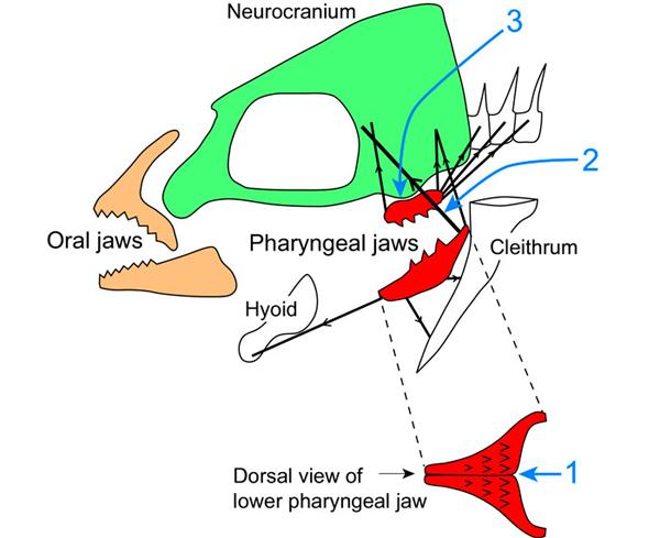 Глоточные челюсти цихлид сначала обеспечили им успех, а потом обрекли на вымирание Pharyngeal_jaw_innovation_leads_to_extinction_in_cychlids_1_600