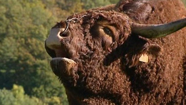 Vaches et Elevage Salers en Livradois - Page 2 Gie_salers_vanlooy