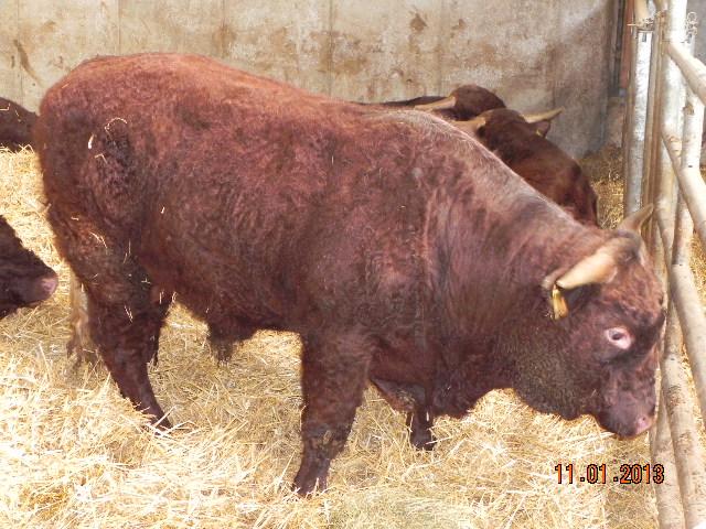 Vaches et Elevage Salers en Livradois - Page 2 Haddock_actu
