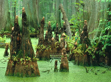 An ancient underwater forest in the Gulf of Mexico Bald-cypress-swamp-usfw-380