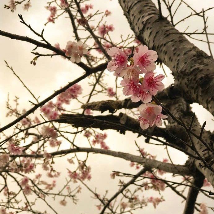 March equinox: All you need to know Spring-cherry-blossoms-Okinawa-Japan-Beverly-Fish-sq