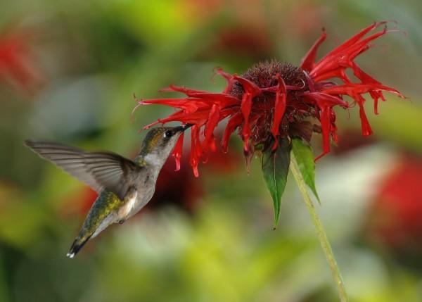 Hummingbirds' extraordinary migratory marathons Female_RubyThroatedHummingbird_feeding_scarlet_beebalm-e1457924286105