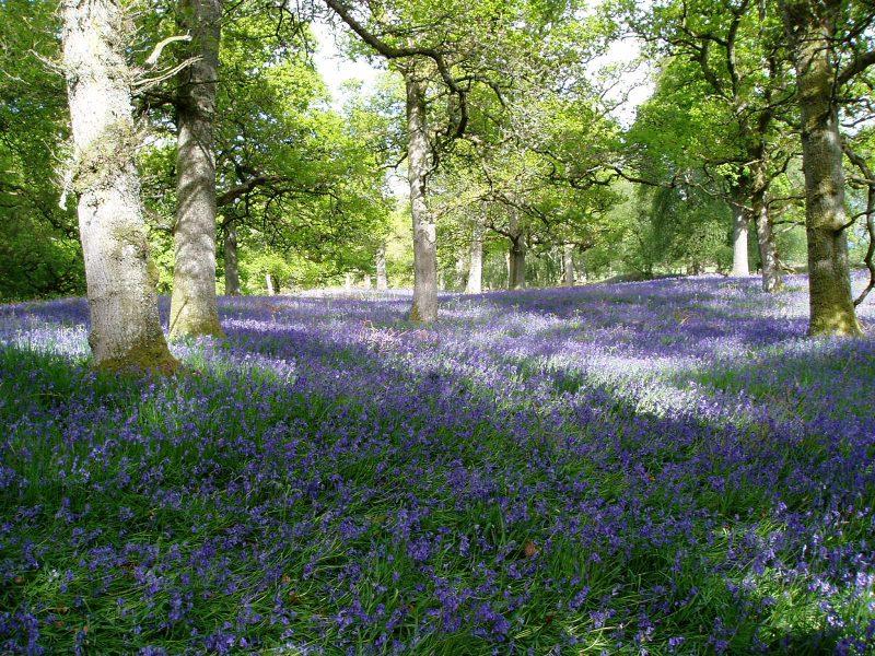 Earth Day 2019 Bluebells-scotland-e1492612391689