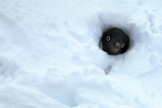Happy World Penguin Day Penguin-ron-naveen-2-e1493122753568