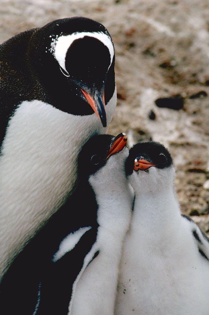 Happy World Penguin Day Penguin-ron-naveen-3