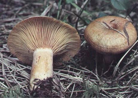 De quel champignon s'agit-il ? Champignon_LacDel