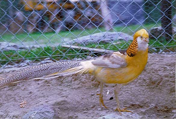 un oiseau à découvrir Martin du 08 novembre trouvé par Martine Faisan_dore_1