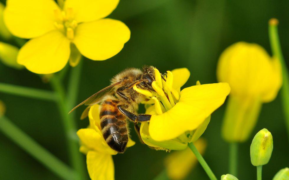 El caso de las abejas desaparecidas. - Página 2 1429711416_290434_1429712731_noticia_grande