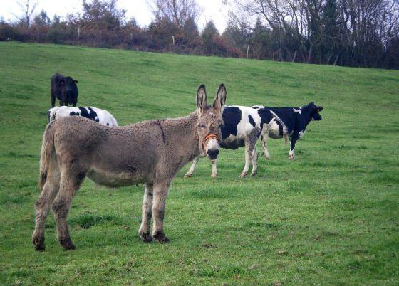 Lobos, ganadería, administración. Patrulla de burras contra lobos. 1332275936_017921_1332276305_noticia_normal