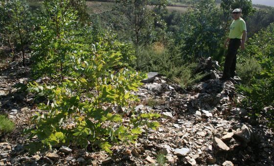 Más eucaliptos,  más   coníferas. Consecuencias de la sed de beneficio$ en la húmeda Galicia. El sector forestal. 1358973222_929273_1358973916_noticia_normal