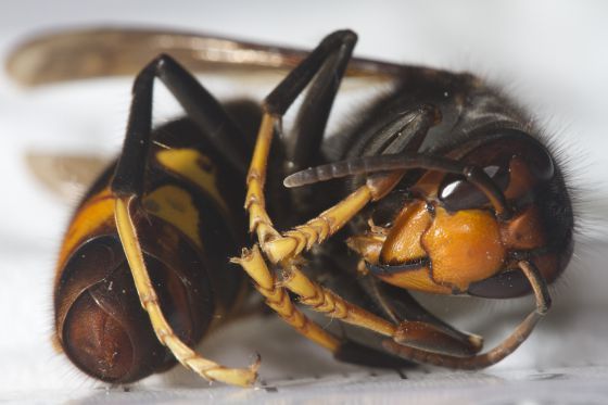 El caso de las abejas desaparecidas. 1381056246_655705_1381056522_noticia_normal