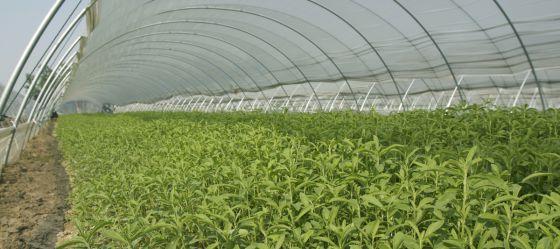 "La ""Stevia rebaudiana bertoni"" (hierba dulce) prospera. 1439464536_243785_1439464954_noticia_normal"