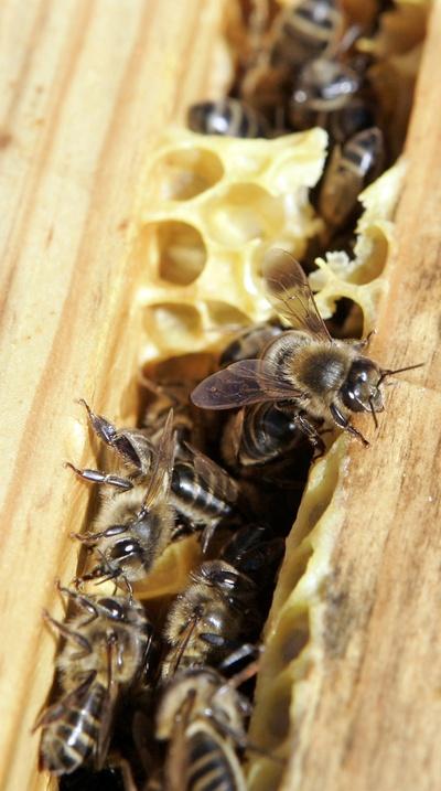 El caso de las abejas desaparecidas. 1326927602_850215_0000000000_sumario_normal