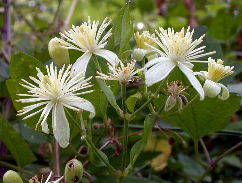 une fleur - blucat-  8 août trouvée par martine Clematis_vitalba2